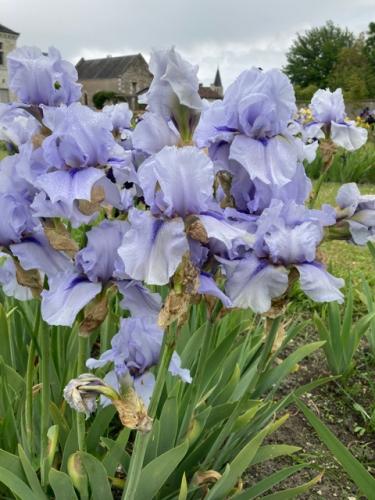 le jardin des iris,champigny-sur-veude