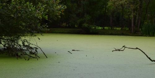 ragondin dans l'étang.jpg